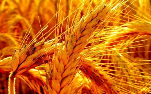 Buğday Hangi Bölgede Yetişir Bugdaygentr